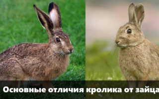 Основные отличия кролика от зайца: внешние особенности, образ жизни животных