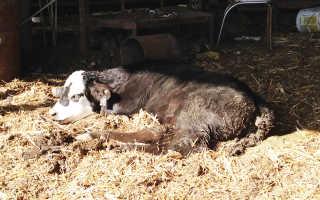 Вирусная диарея у коров: особенности развития заболевания, методы лечения, симптоматика