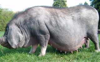 Какие факторы влияют на продолжительность роста свиньи, что нужно учитывать при составлении рациона