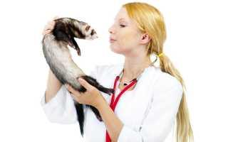 Стерилизация самки хорька: виды процедуры, правила подготовки к операции, возможные осложнения