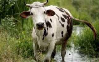 Анатомическое строение сердца коровы, принцип работы и возможные заболевания