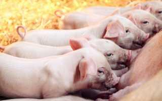 Особенности получения свиного молока, польза продукта, вкусовые качества