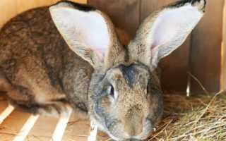 Кролик Ризен: правила содержания и разведения, составление рациона