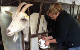 Основные правила, пошаговое описание запуска козы перед окотом