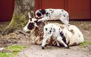 Правила кормления детенышей овцы, вакцинация и уход за ягнятами