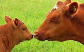 Основные способы запуска коровы перед началом отела: правила ухода и особенности питания
