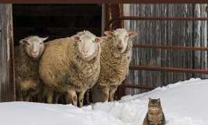 Основные правила кормления овец и баранов зимой: рекомендации по составлению рациона