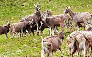 Тоггенбургские козы: описание породы, правильное составление рациона, возможные заболевания