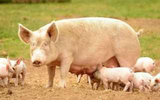 Преимущества Фелуцена для свиней, полезный состав и правила применения