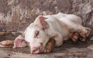 Симптомы пастереллеза у свиней, лечение и профилактика, опасные осложнения