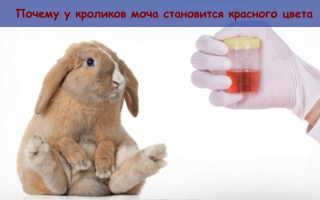 Почему у кроликов моча становится красного цвета: возможные заболевания, методы лечения