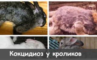 Кокцидиоз у кроликов: симптомы, правила лечения, меры профилактики