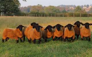 Характерные особенности породы овец Суффолк, правила разведения и преимущества
