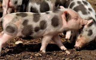 Описание породы свиней Пьетрен, правила разведения, рекомендации по составлению рациона