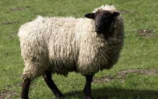 Особенности горьковской породы овец, внешние характеристики и правила разведения