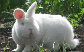 Описание породы Новозеландский кролик, условия содержания и кормления