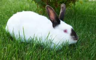 Калифорнийский кролик: преимущества породы, правила ухода и кормления
