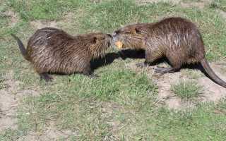 Нутрия и ондатра: основные отличия, внешний вид грызунов, особенности размножения и питания