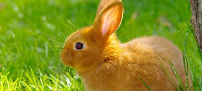 Способы определения возраста кроликов