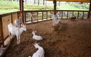Правила содержания коз для начинающих, рекомендации по составлению рациона