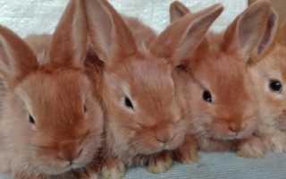 Описание кроликов породы Новозеландский красный, уход и разведение