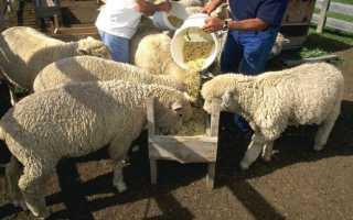 Кормление овец: правила составления рациона, особенности питания в разное время года