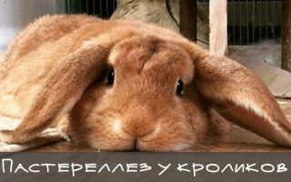 Симптомы пастереллеза у кроликов, методы лечения