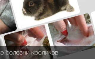 Ушные болезни у кроликов: симптомы и правила лечения