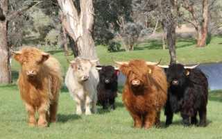 Мини коровы: список самых популярных пород, основные правила ухода