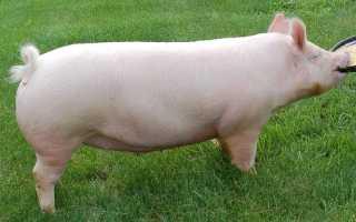 Йоркширская свинья: описание породы, правила разведения, возможные заболевания