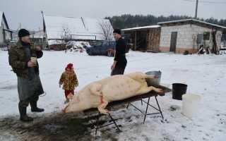 Забой свиней: пошаговое описание процесса, доступные методики, правила разделки и хранения мяса