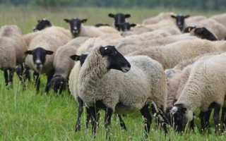 Правила содержания овец романовской породы, продуктивность животных, основные преимущества и недостатки