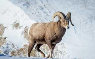 Характерные особенности Снежного барана, его образ жизни и период размножения