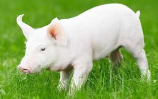 Белая свинья: особенности породы, преимущества разведения, правила составления рациона