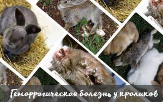Геморрагическая болезнь у кроликов: симптомы заболевания, меры профилактики