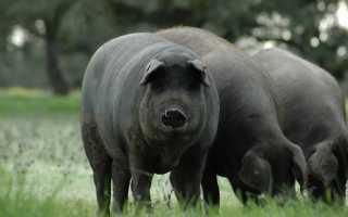 Отличительные особенности черных свиней, правила содержания, рекомендации по составлению рациона