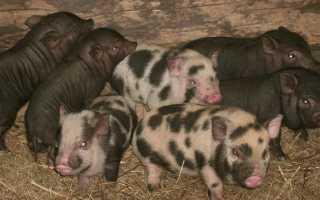 Самые популярные породы свиней: отличительные особенности, внешние характеристики, плодовитость самок