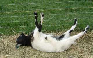 Описание миотонических коз, причины частого обморока, правила содержания животных