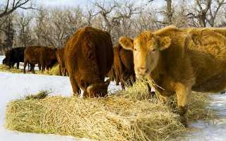 Сколько сена нужно давать корове зимой: индивидуальный расчет нормы, составление рациона, режим кормления