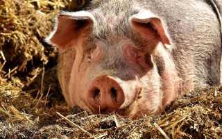 Причины появления дизентерии у свиней, начальная симптоматика, требования к лечению