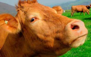 Лептоспироз у коров: правила лечения, опасные осложнения, советы по профилактике