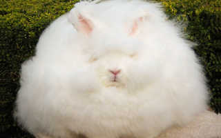 Ангорский кролик: плюсы и минусы породы, правила разведения