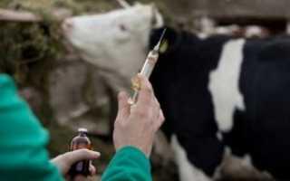 Вакцинация КРС: основные правила, список обязательных прививок, схема введения