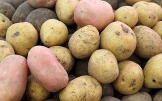 Сырой картофель в рационе коров: польза продукта, правила кормления, опасность отравления соланином