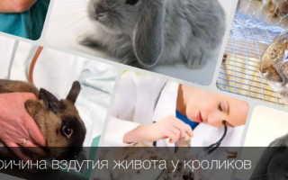 Вздутие живота у кроликов: причины, правила лечения