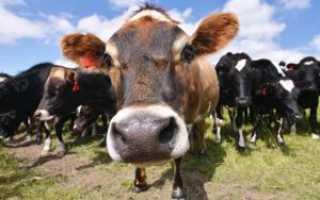 Клостридиоз у крупнорогатого скота: причины заболевания, методы лечения, особенности вакцинации