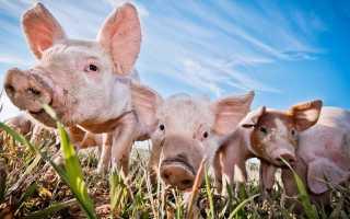 Развитие африканской чумы у свиней: причины появления болезни, первые симптомы, меры профилактики