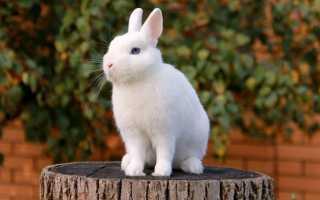 Особенности ухода и содержания кролика породы Гермелин