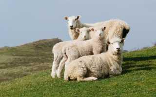 Плюсы и минусы Цигайской породы овец, правила разведения и особенности рациона