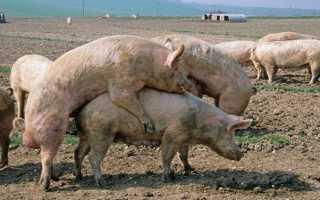 Правила подготовки к случке свиней, способы спаривания, возможные ошибки